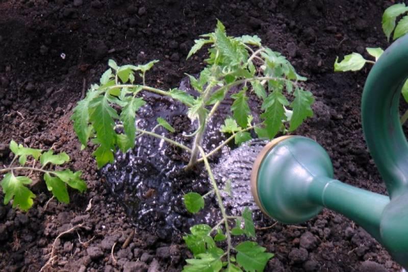 Как поливать рассаду помидора правильно: важные нюансы