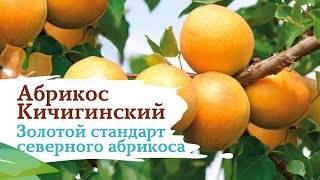 Абрикос кичигинский — описание сорта и отзывы с фото
