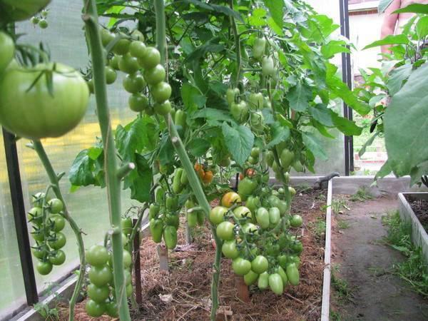 Как и когда высаживать рассаду помидоров в теплицу: правила, сроки