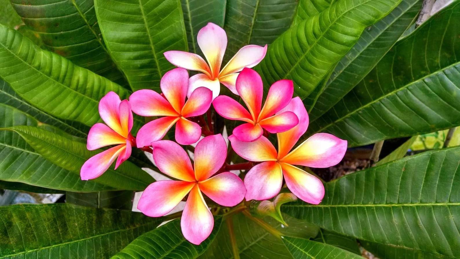 Плюмерия (франжипани) — уход в домашних условиях за цветущим деревом