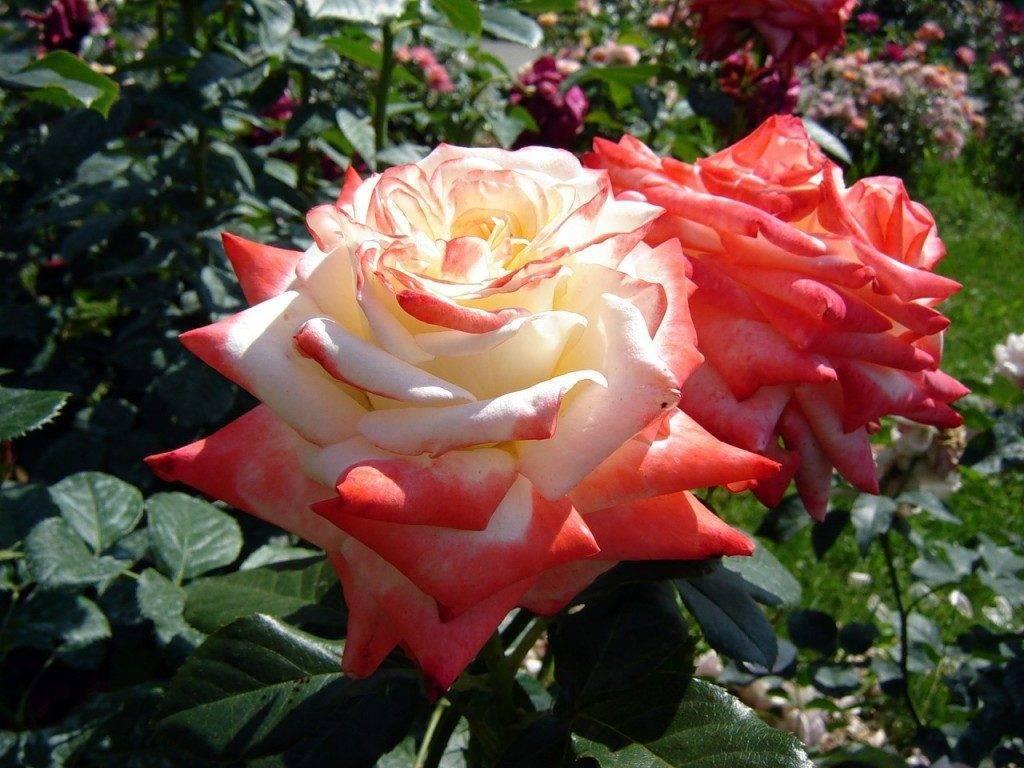 Роза императрица фарах: уход, описание сорта