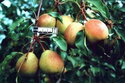 Лучшие сорта груш: рейтинг по срокам, размерам плодов и дерева