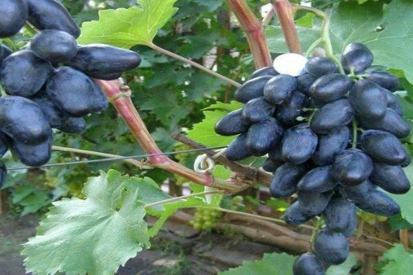 Сорт винограда «велика»