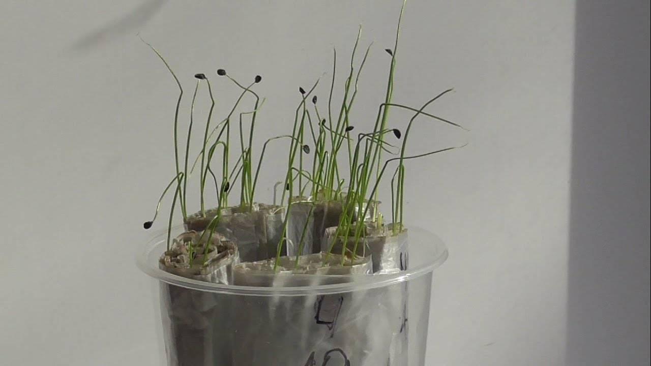 Как вырастить чеснок из бульбочек: посадка и уход
