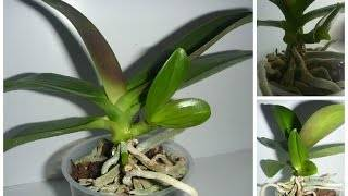 Как правильно отсадить деток орхидеи в домашних условиях