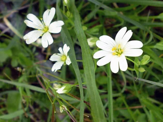 Растение ясколка многолетняя: описание, виды, посадка и уход