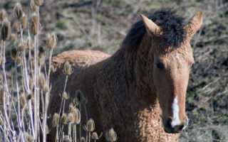 Башкирская лошадь: особенности и перспективы разведения