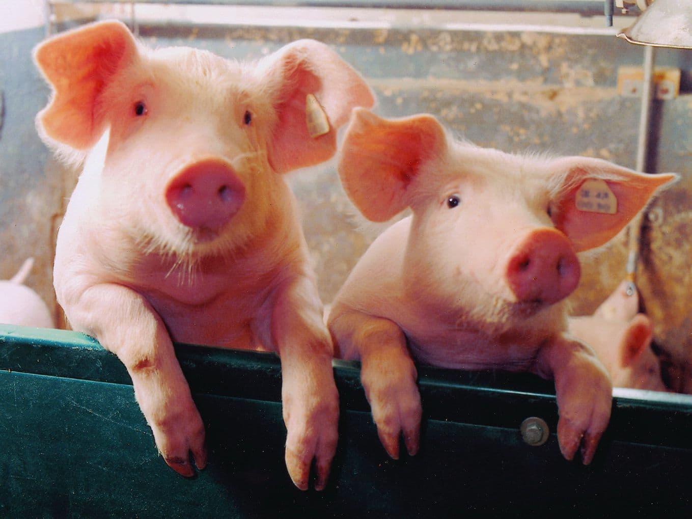 Зимнее содержание свиней: описание, кормление и уход