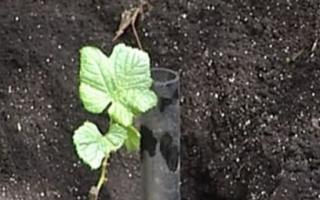 Как сажать виноград весной, сроки и способы, в том числе в украине, беларуси, крыму, подмосковье, чувашии и других регионах