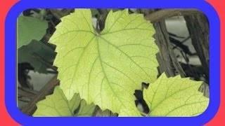 """Почему у винограда листья светло зеленые? - журнал """"совхозик"""""""