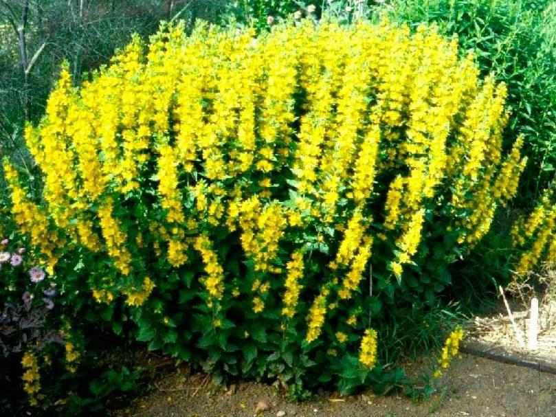Вербейник: посадка и уход, фото, размножение и выращивание сорта в открытом грунте, сочетание в ландшафтном дизайне