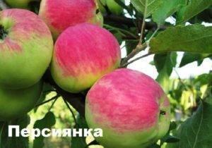 Яблоня московское зимнее: особенности сорта и ухода
