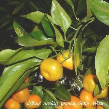 Мандарин: выращивание из косточек