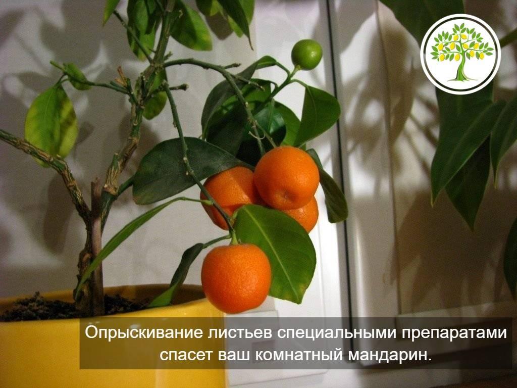 Как вырастить мандарин из косточки совими руками в домашних условиях?