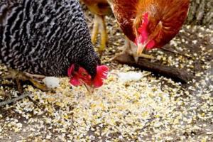 Что делать, чтобы куры несли крупные яйца круглый год