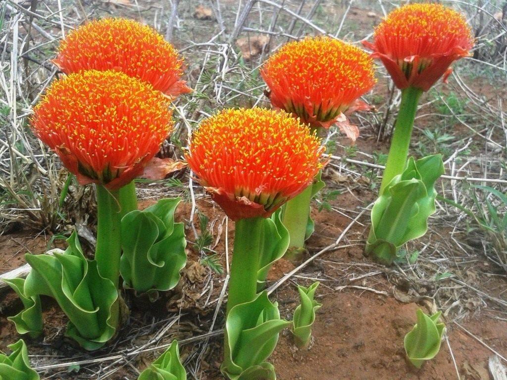 Комнатный цветок гемантус: виды растения, видео ухода в домашних условиях, размножение гемантуса