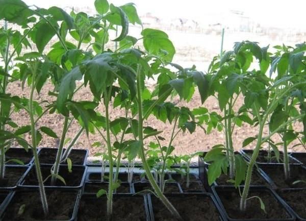 Что предпринять, если рассада помидоров бледная и тонкая: действенные меры и полезные советы