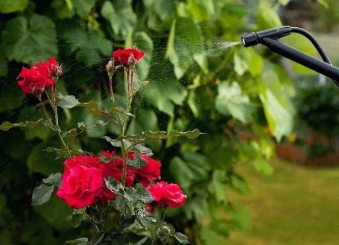 Как и чем подкормить розы весной и летом для пышного цветения: лучшие удобрения