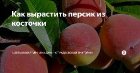Выращивание персика в домашних условиях из косточки