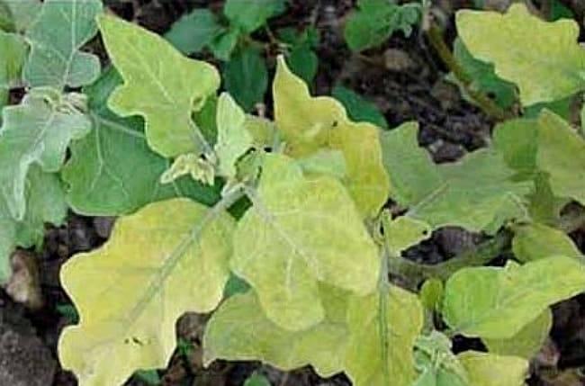 Почему у баклажанов скручиваются листья кверху: что делать в теплице, на подоконнике, открытом грунте