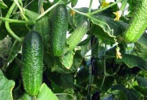 Огурец бидретта f1: отзывы, описание сорта и фотографии, устойчивость и урожайность