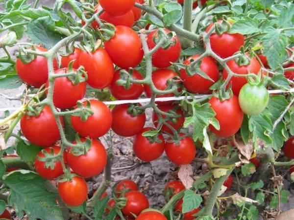 Томат видимо-невидимо: описание, отзывы, фото, урожайность | tomatland.ru