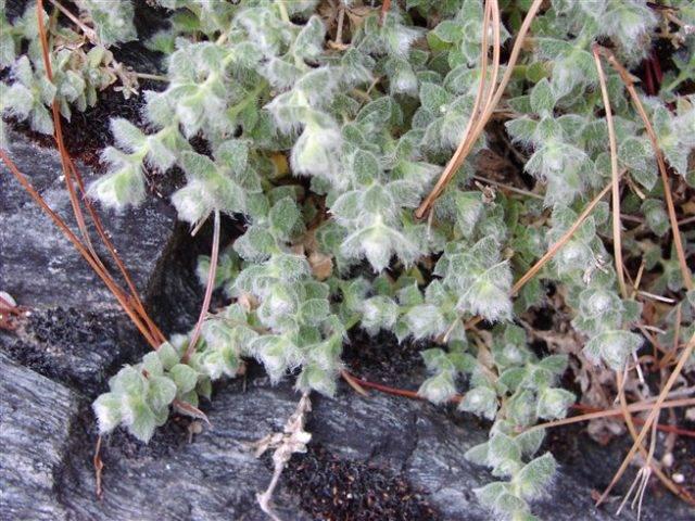 Ясколка биберштейна войлочная и серебристая выращивание из семян посадка и уход в открытом грунте