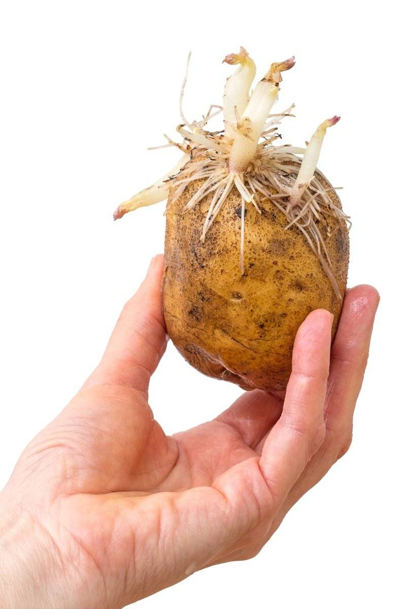 Пророс картофель: группа практикум садовода и огородника