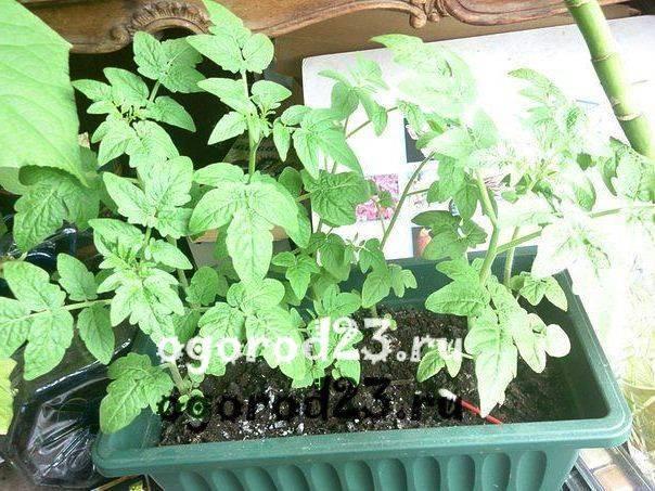 У рассады помидор желтеют и опадают нижние листья, что делать