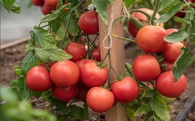 Выращивание помидоров по маслову – увеличение урожая в 8 раз: описание метода, особенности подготовки почвы и семян томатов, а также инструкция по посадке и уходу русский фермер