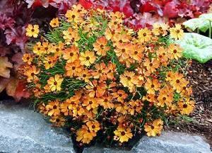 Солнцелюбивый многолетний кореопсис: посадка и уход, особенности выращивания рассадным и безрассадным способом