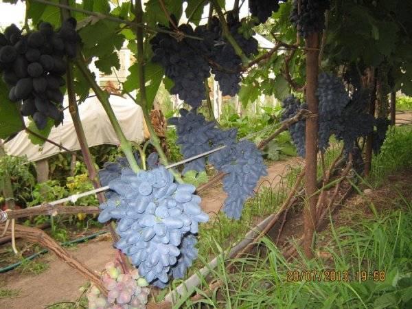 Столовый виноград сорта атос: его преимущества и недостатки, особенности ухода