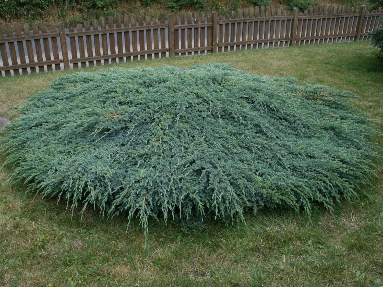 Можжевельник чешуйчатый 'блю карпет', описание, фото, условия выращивания, уход