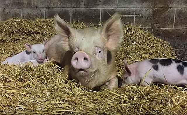 Подстилка для свиней: виды и правила использования, преимущества и недостатки