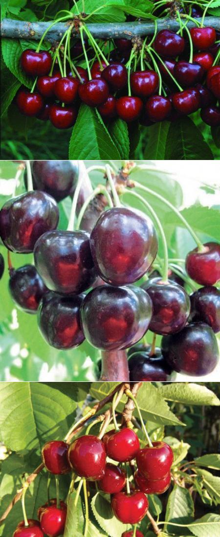 Черешня валерий чкалов: описание, опылители, выращивание, фото
