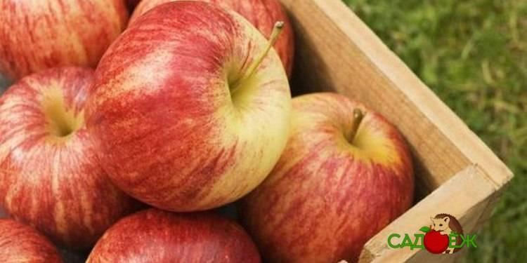 Как хранить сушеные яблоки в домашних условиях (квартире и доме)