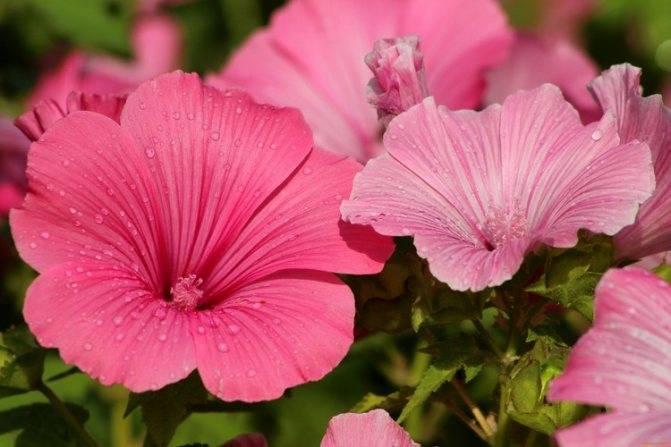 Лаватера садовая роза выращивание из семян когда сажать на рассаду посадка и уход в открытом грунте