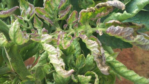 Почему у помидоров белеют листья и как этого избежать
