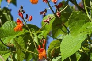 Фасоль декоративная вьющаяся: сорта, посадка и уход, размножение