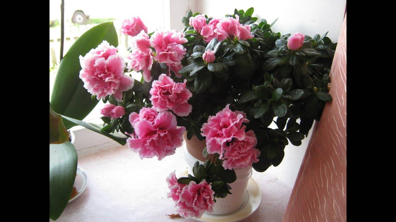 "Цветок ""азалия"": описание, фото, уход в домашних условиях"