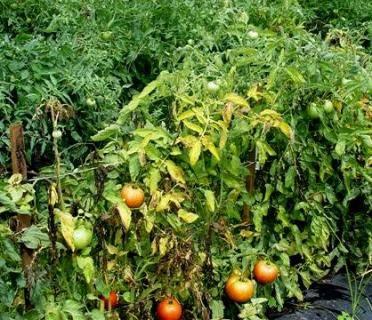 Фузариоз рассады томатов: фото растений с признаками увядания, причины появления инфекции, способы лечения помидоров и профилактические меры
