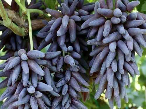 Путеводитель по американскому винограду