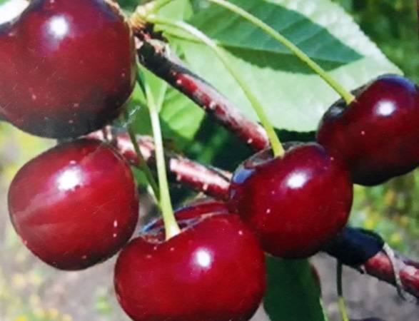 Все о вишни драгоценный кармин