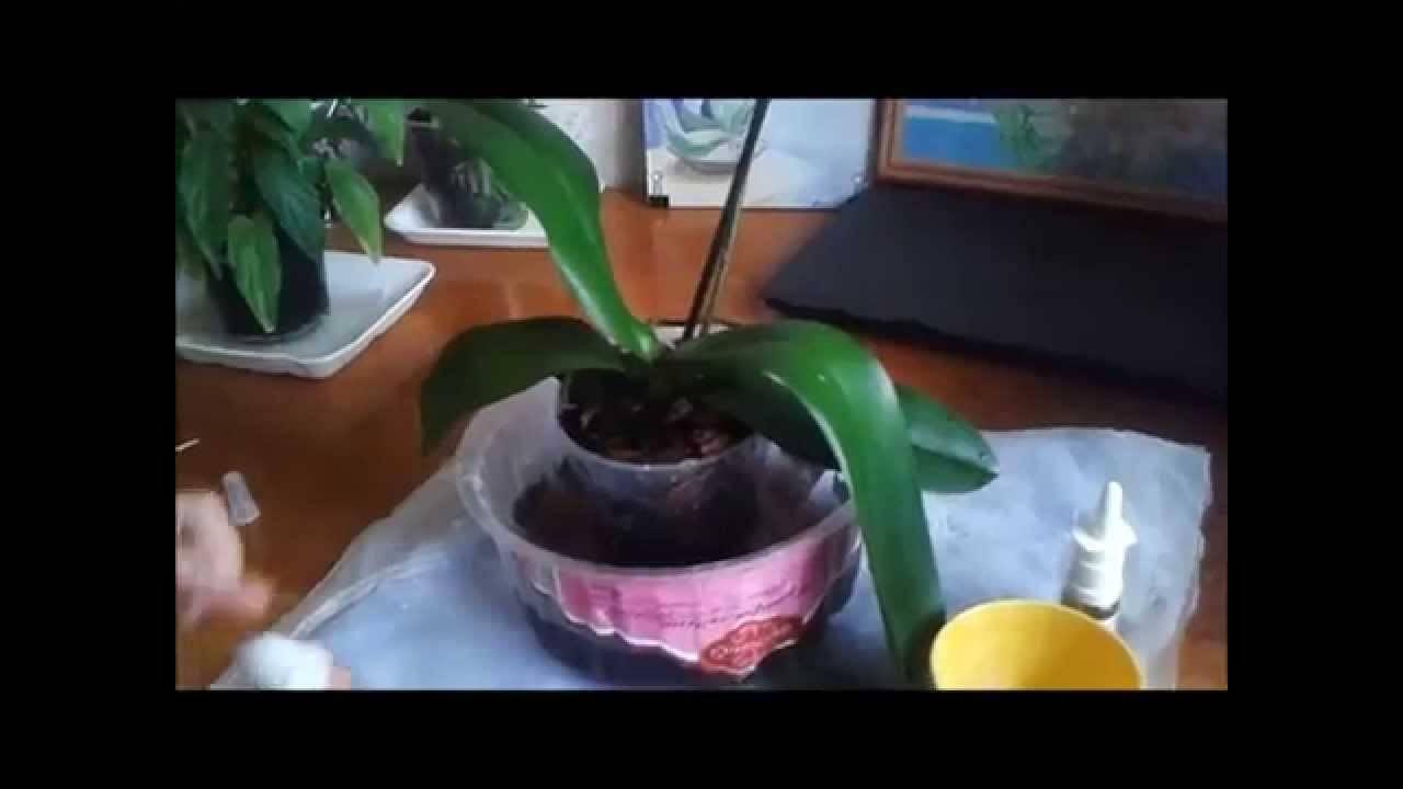 Советы, как правильно поливать фаленопсис в домашних условиях