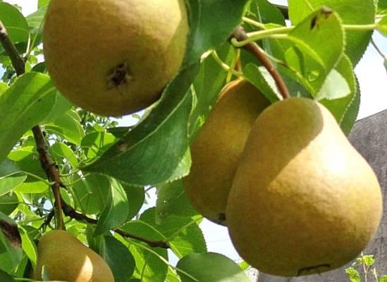 Груша нарядная ефимова — сорт уже 83 года радующий садоводов высокими урожаями