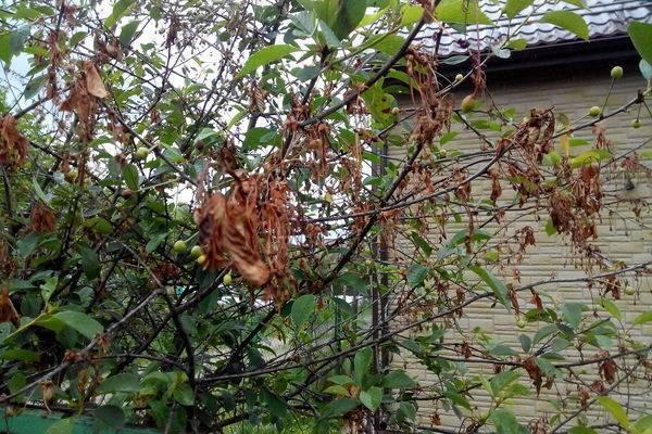 Почему войлочная вишня сохнет после цветения - про сорта