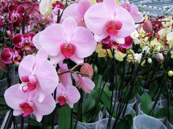 Уход за белой орхидеей фаленопсис
