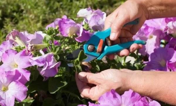 Что делать, если петуния не цветет? почему это происходит и что нужно изменить в уходе?