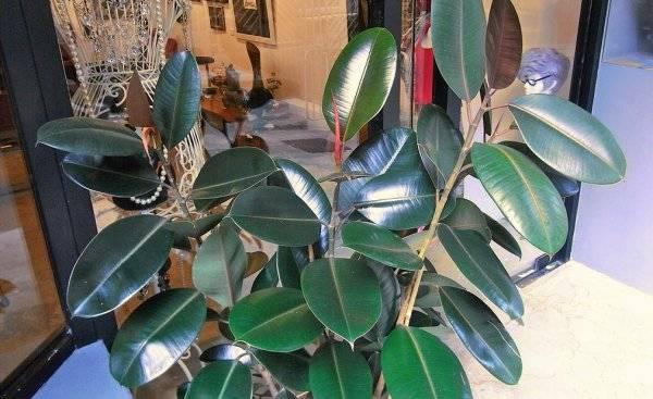 Фикус абиджан (ficus abidjan): советы по уходу, размножению и пересадке