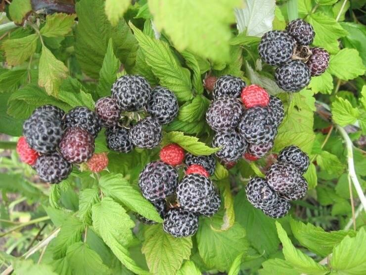Черная малина, особенности выращивания, а также сорта с описанием, характеристикой и отзывами